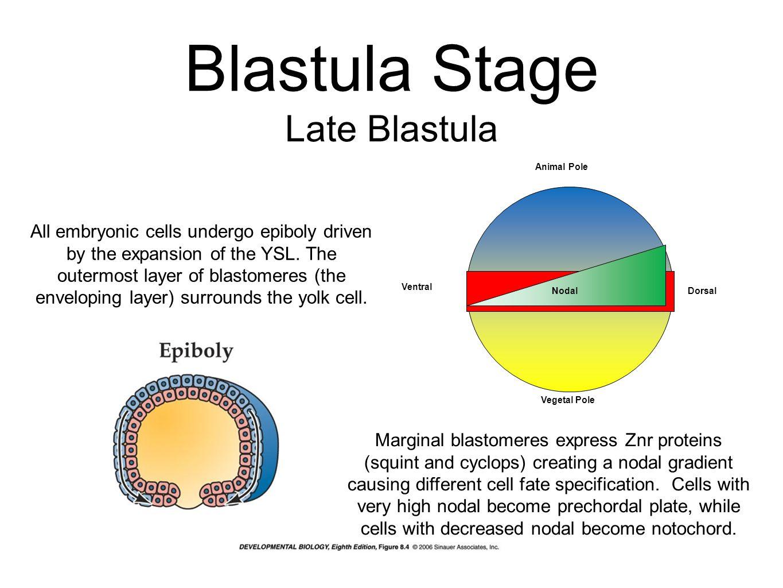 Blastula Stage Late Blastula
