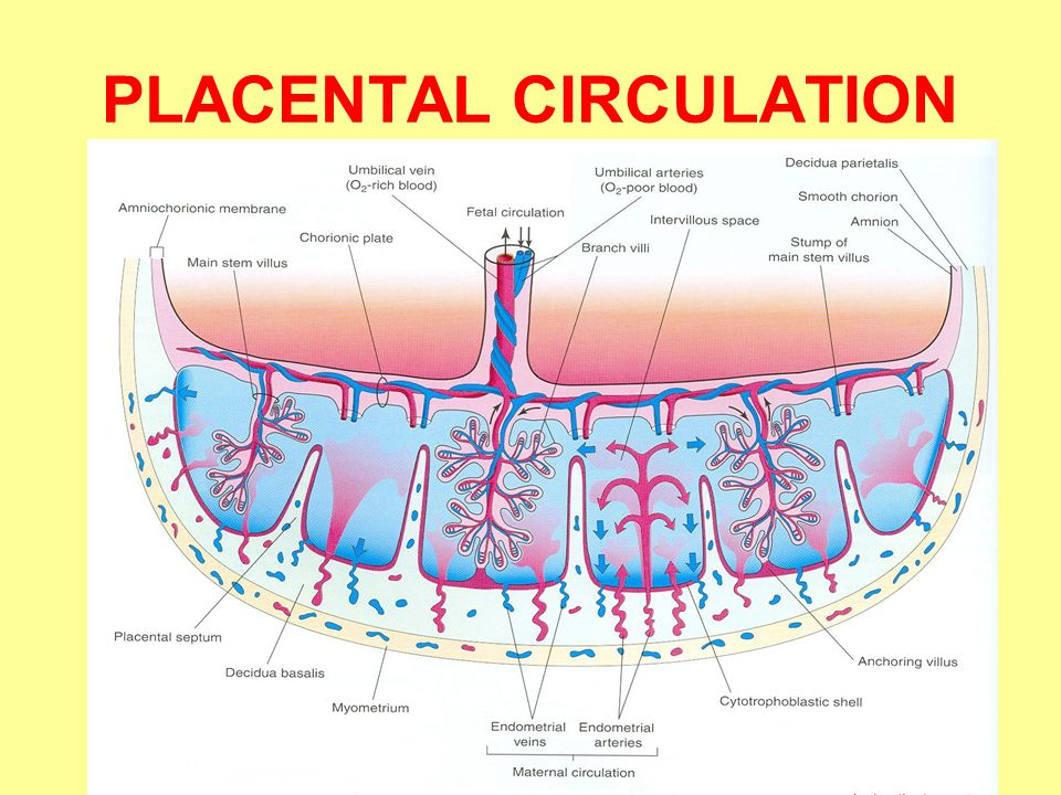 PLACENTAL CIRCULATION