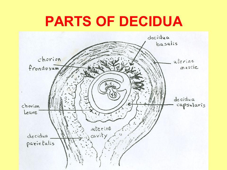 PARTS OF DECIDUA