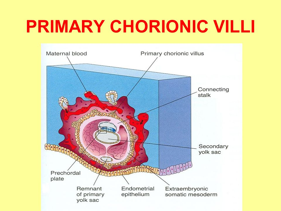 PRIMARY CHORIONIC VILLI