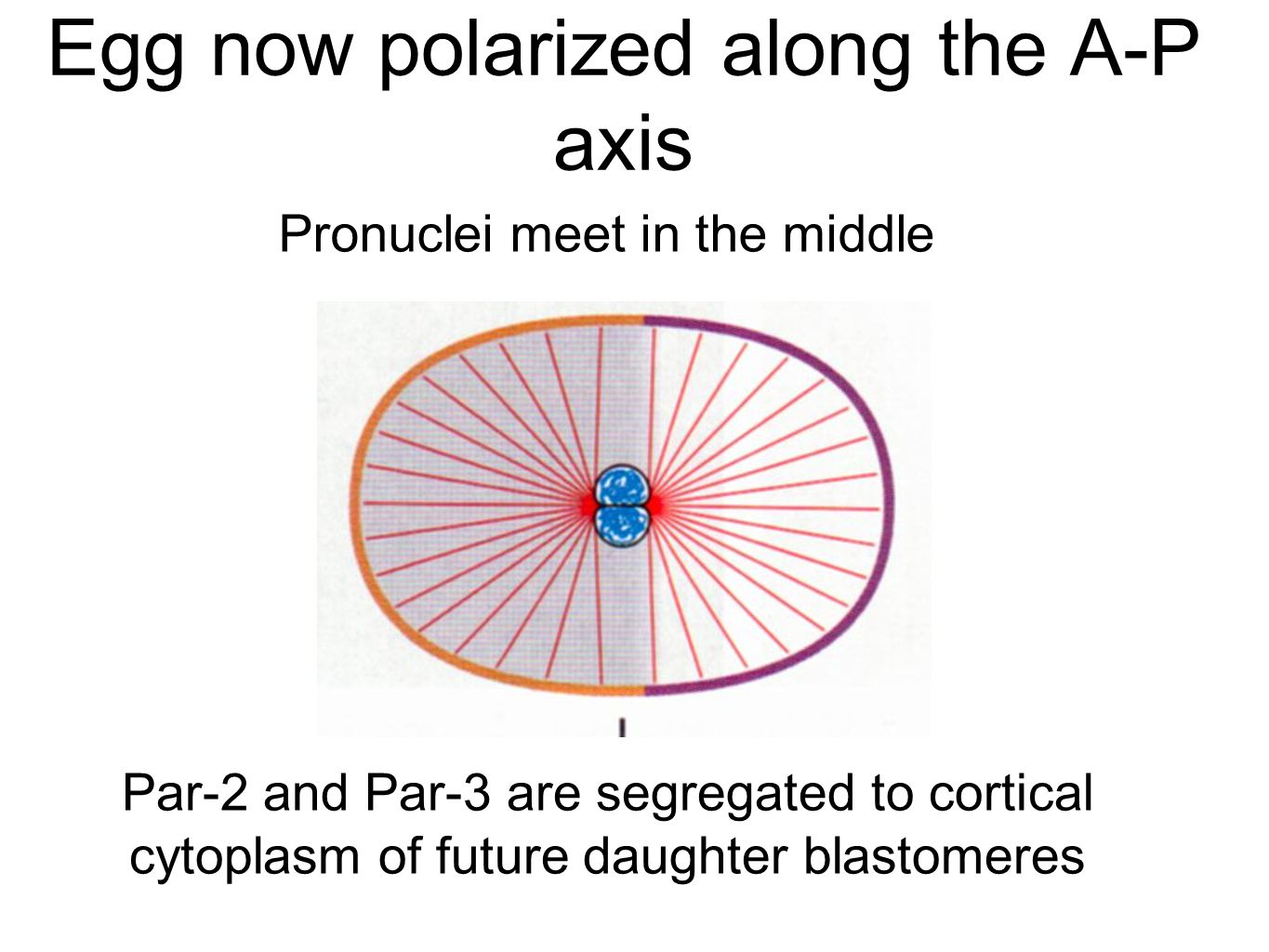 Egg now polarized along the A-P axis