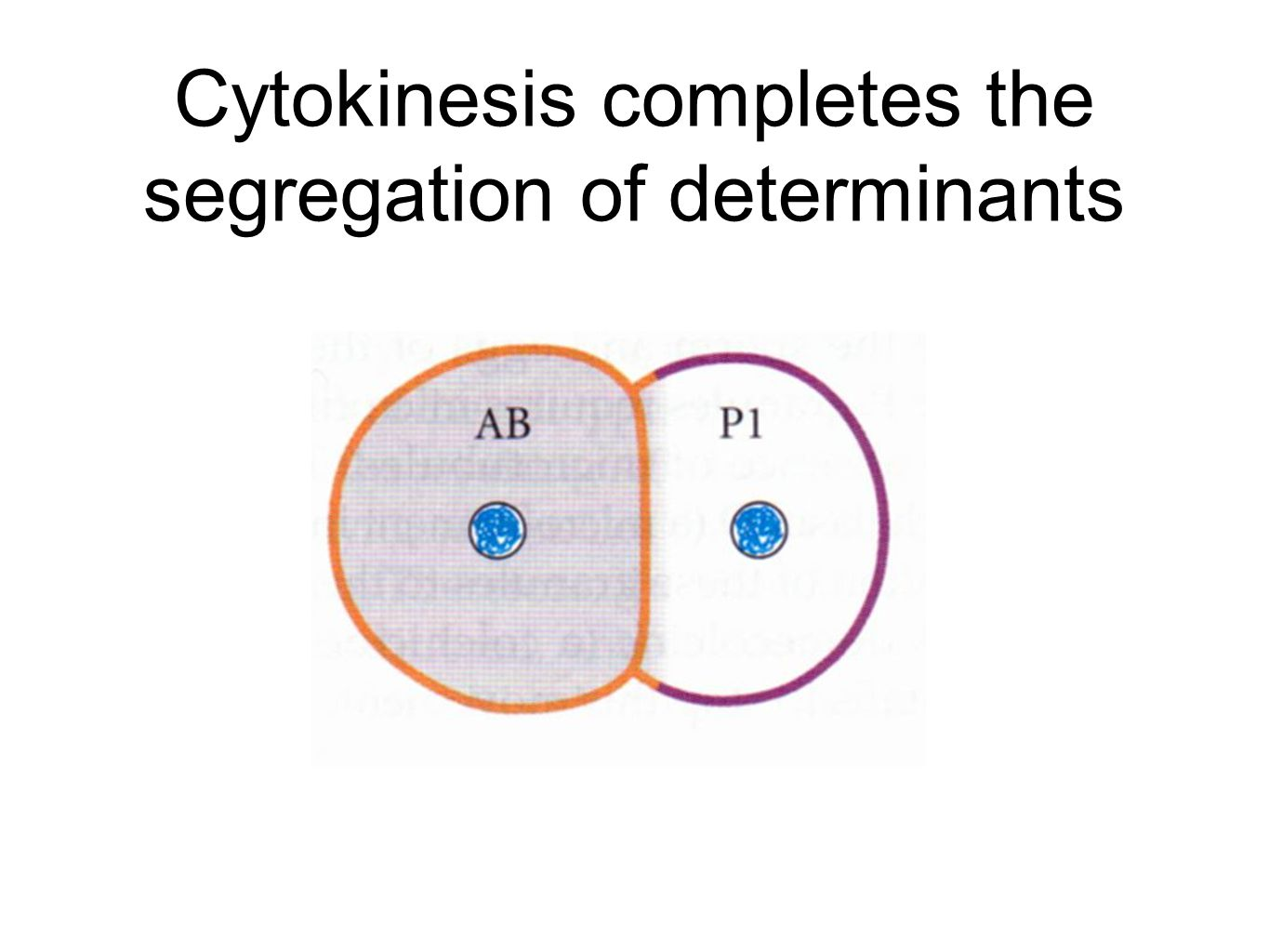 Cytokinesis completes the segregation of determinants