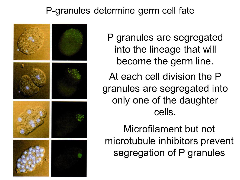 P-granules determine germ cell fate