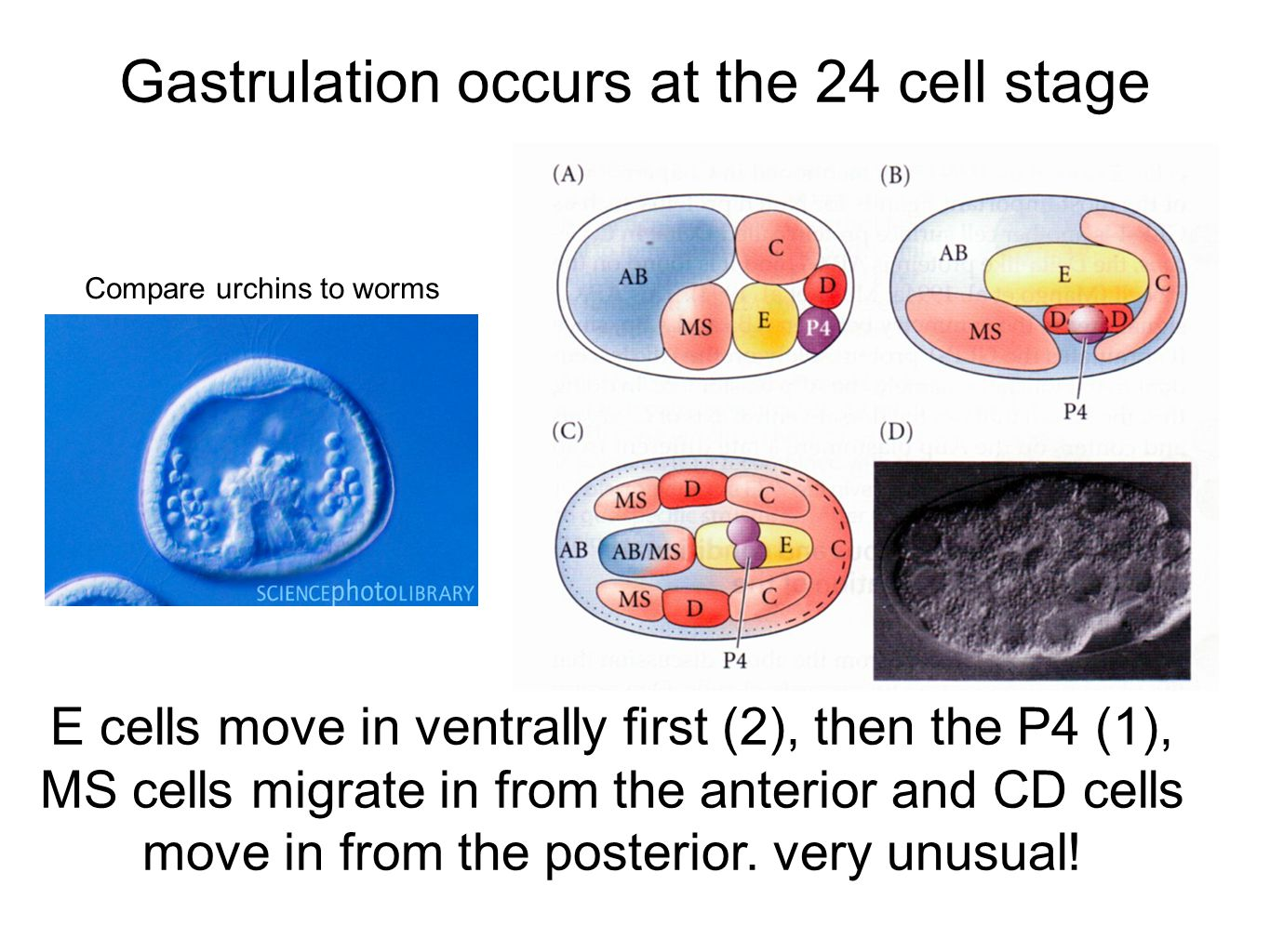 Gastrulation occurs at the 24 cell stage