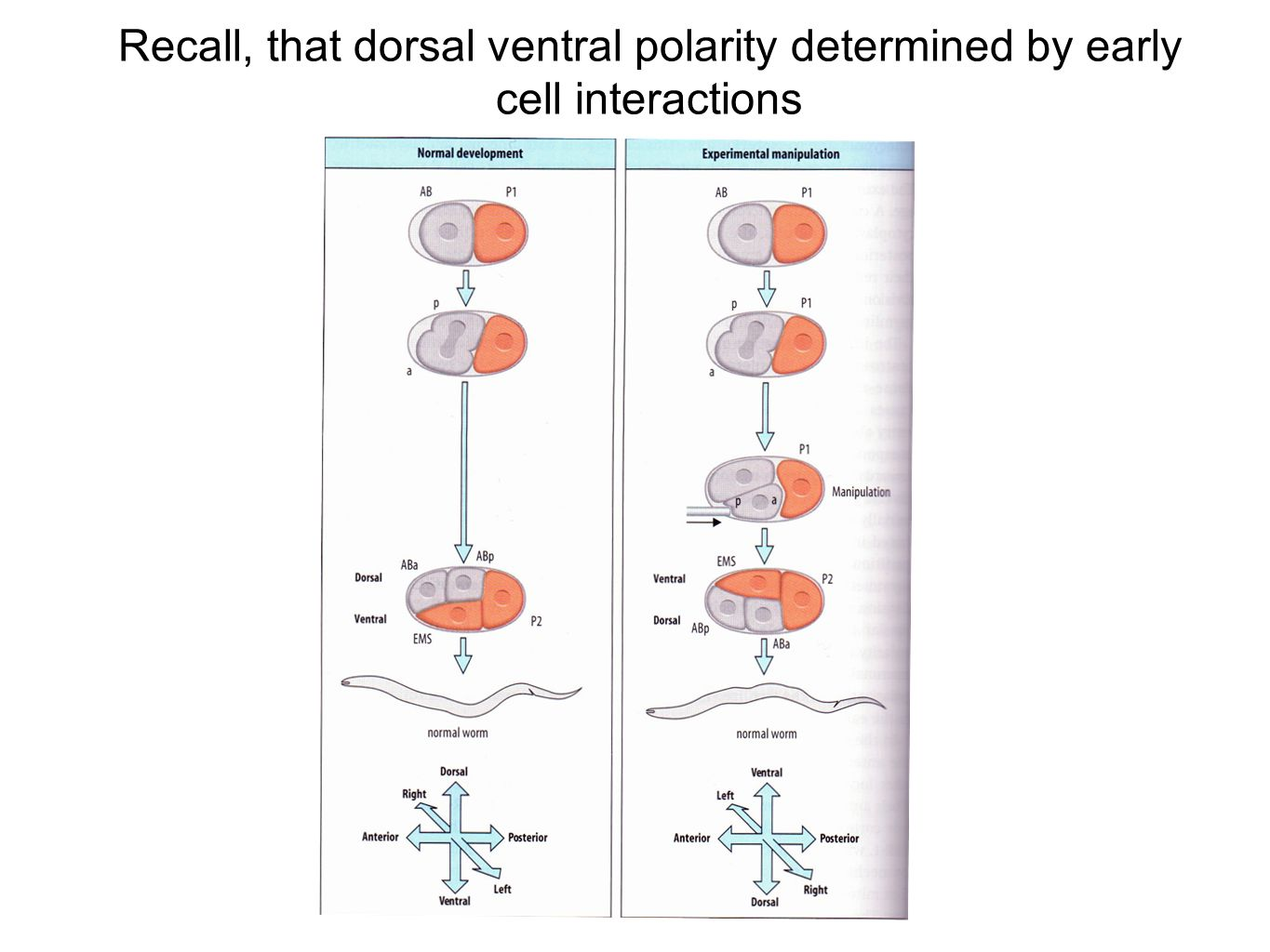 Recall, that dorsal ventral polarity determined by early cell interactions