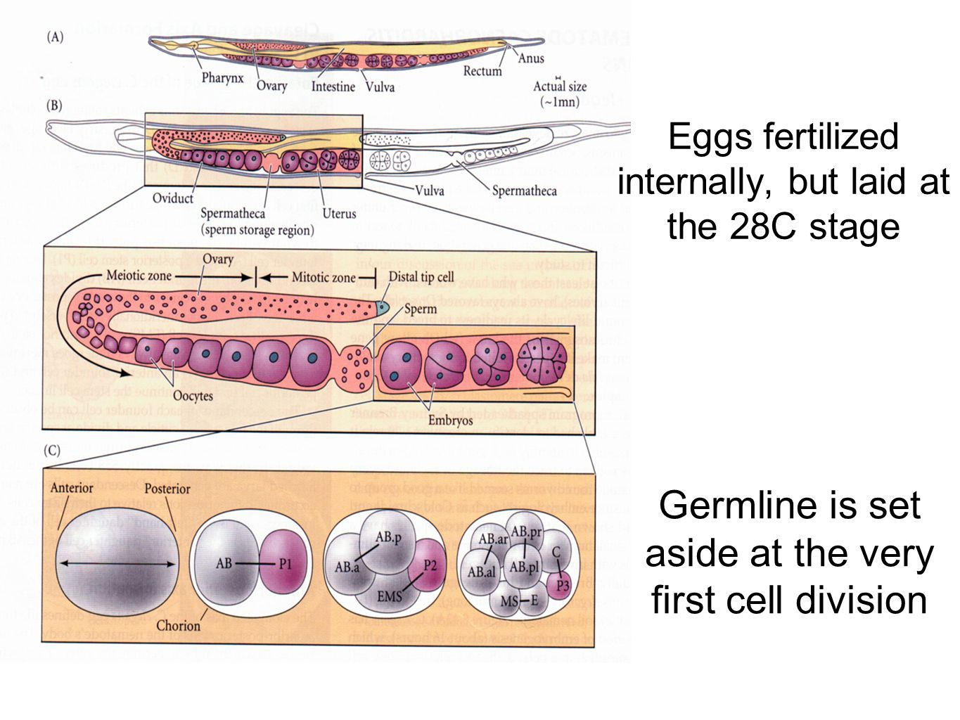 Eggs fertilized internally, but laid at the 28C stage