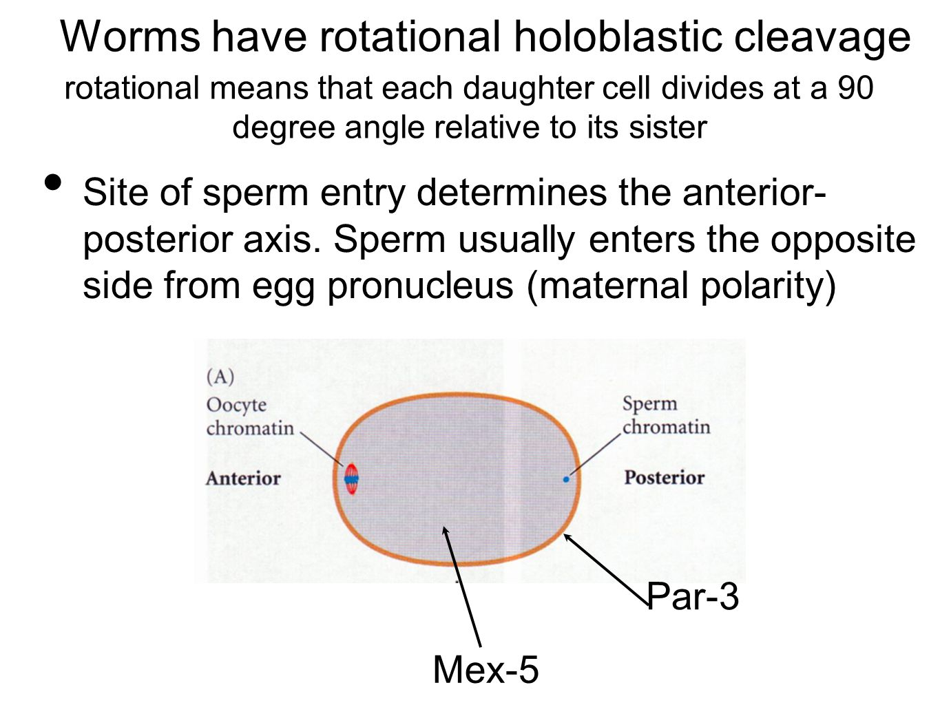 Worms have rotational holoblastic cleavage