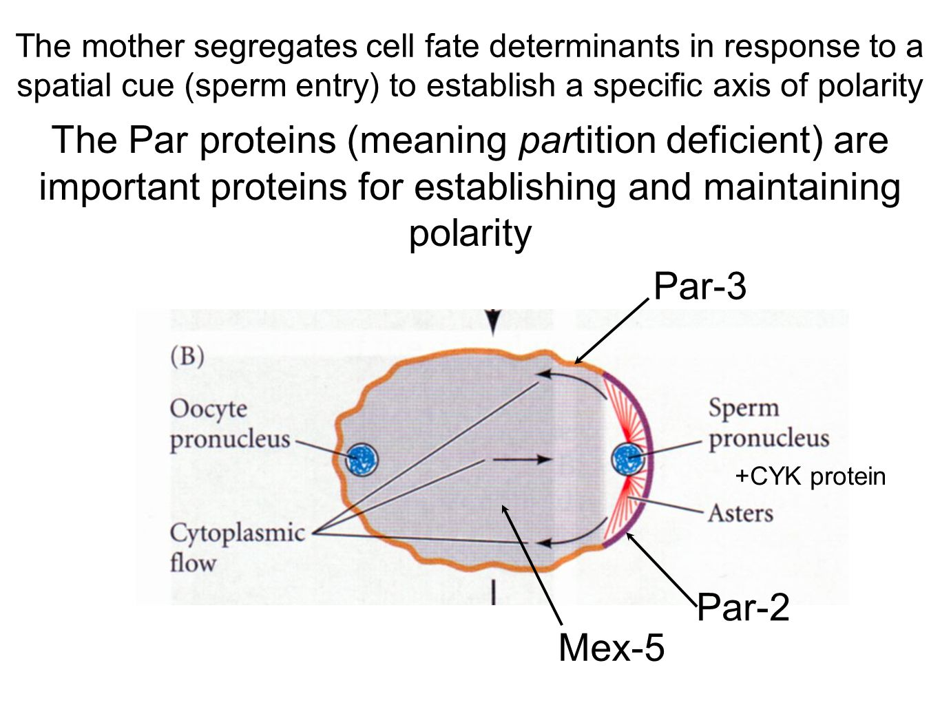 The mother segregates cell fate determinants in response to a spatial cue (sperm entry) to establish a specific axis of polarity