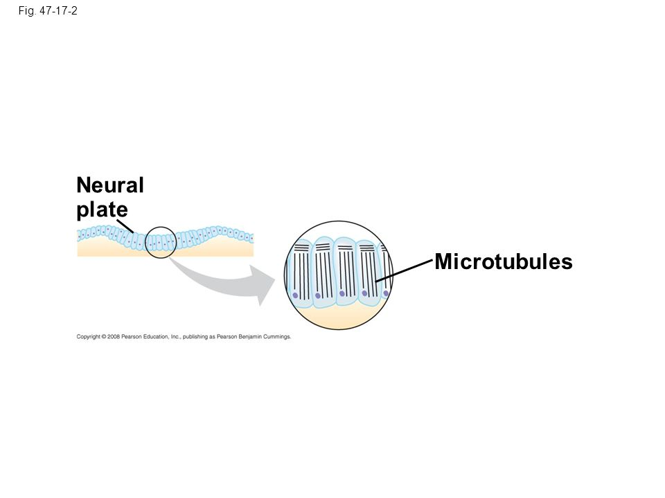 Neural plate Microtubules Fig. 47-17-2