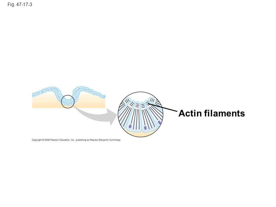 Fig. 47-17-3 Actin filaments Figure 47.17 Change in cell shape during morphogenesis