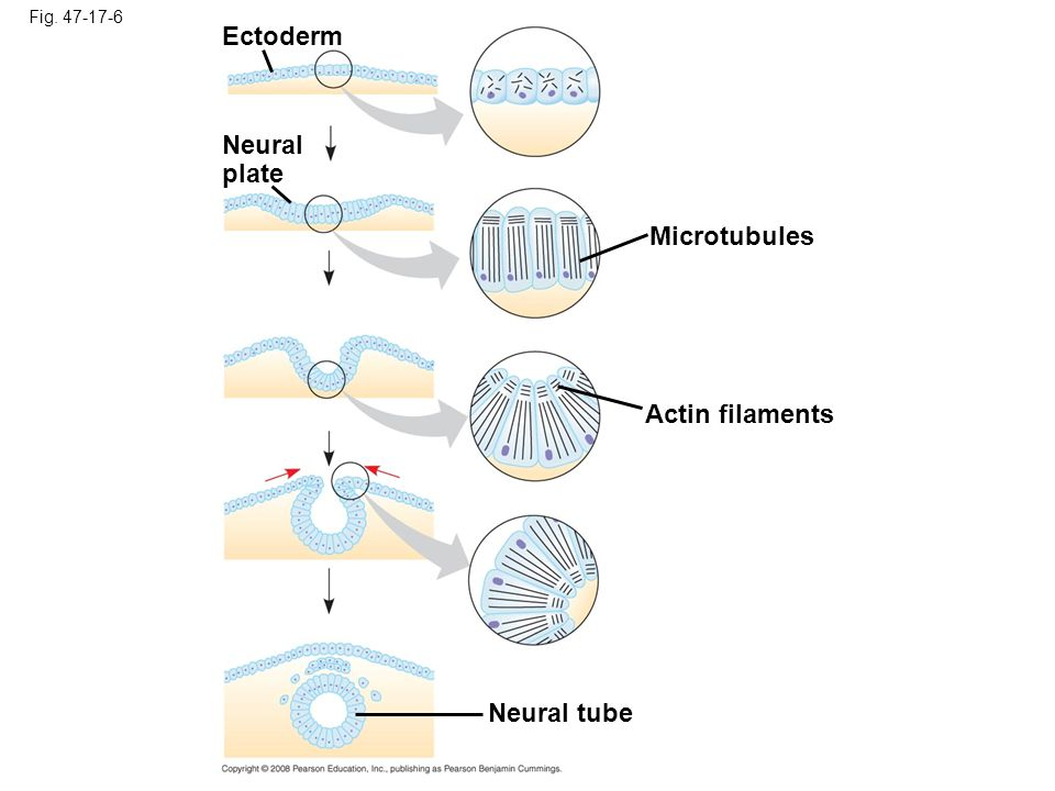 Ectoderm Neural plate Microtubules Actin filaments Neural tube