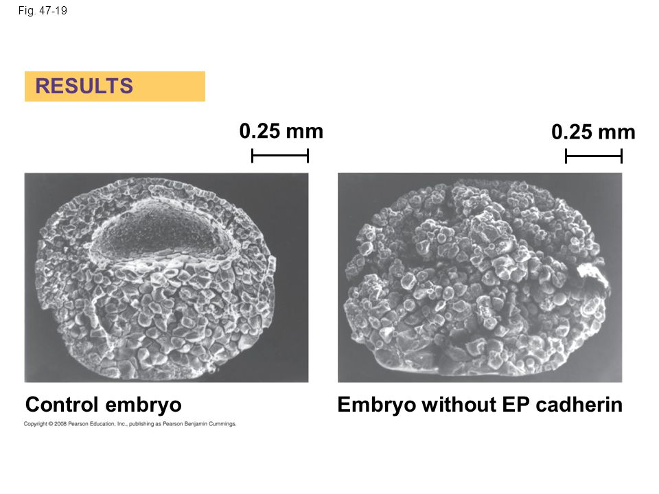 Embryo without EP cadherin