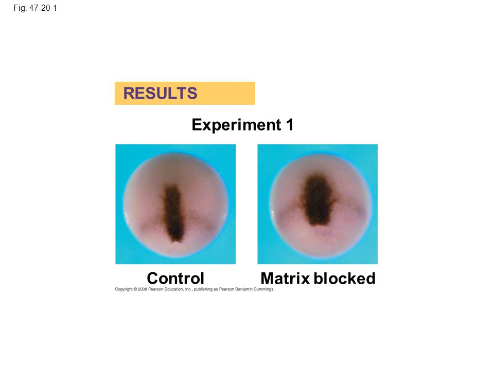 RESULTS Experiment 1 Control Matrix blocked Fig. 47-20-1