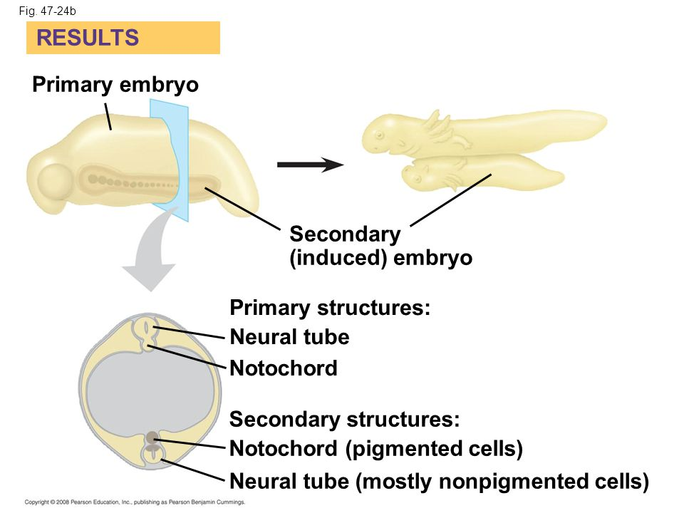 RESULTS Primary embryo Secondary (induced) embryo