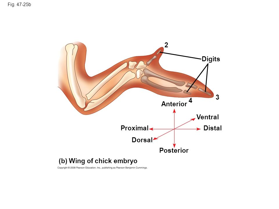 (b) Wing of chick embryo