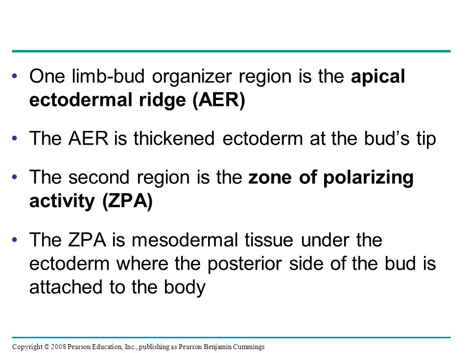 One limb-bud organizer region is the apical ectodermal ridge (AER)
