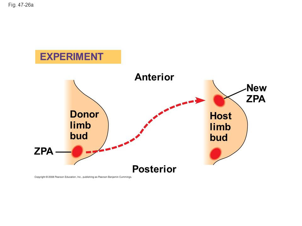 EXPERIMENT Anterior New ZPA Donor limb bud Host limb bud ZPA Posterior