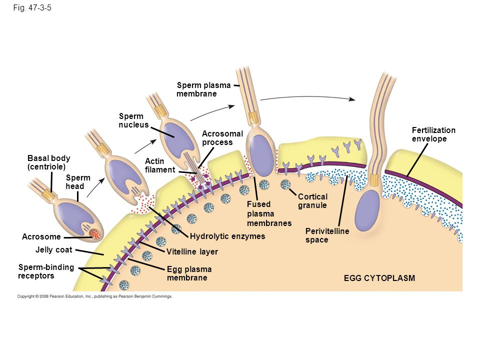 Fig. 47-3-5 Sperm plasma membrane. Sperm nucleus. Fertilization envelope. Acrosomal process. Basal body (centriole)