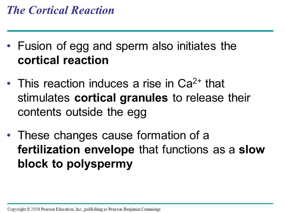 The Cortical Reaction Fusion of egg and sperm also initiates the cortical reaction.
