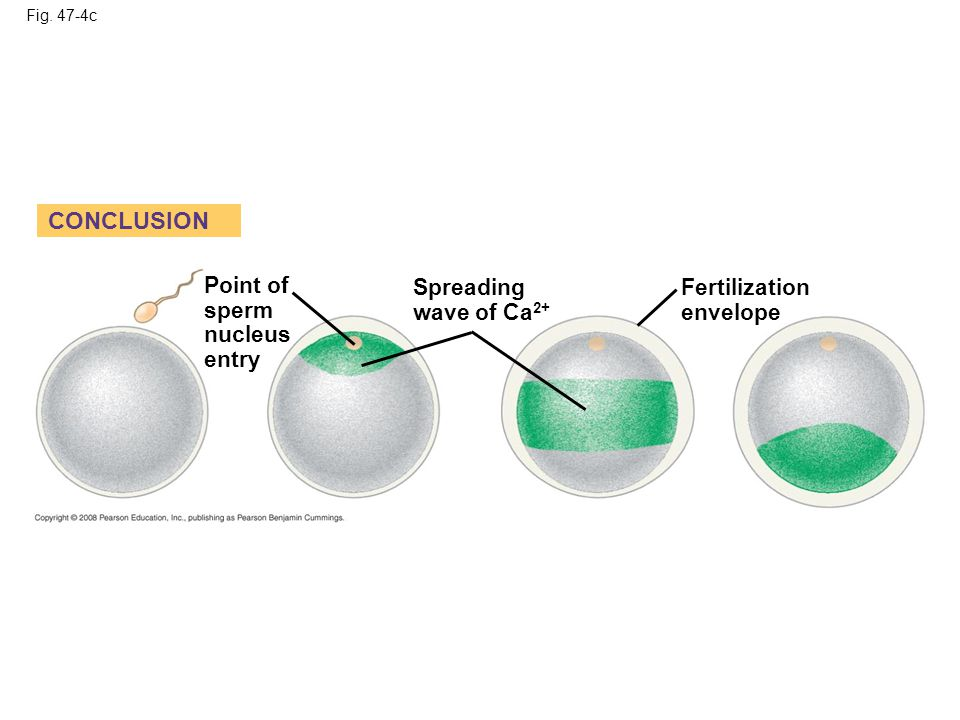 CONCLUSION Point of sperm nucleus entry Spreading wave of Ca2+