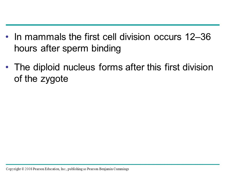 In mammals the first cell division occurs 12–36 hours after sperm binding