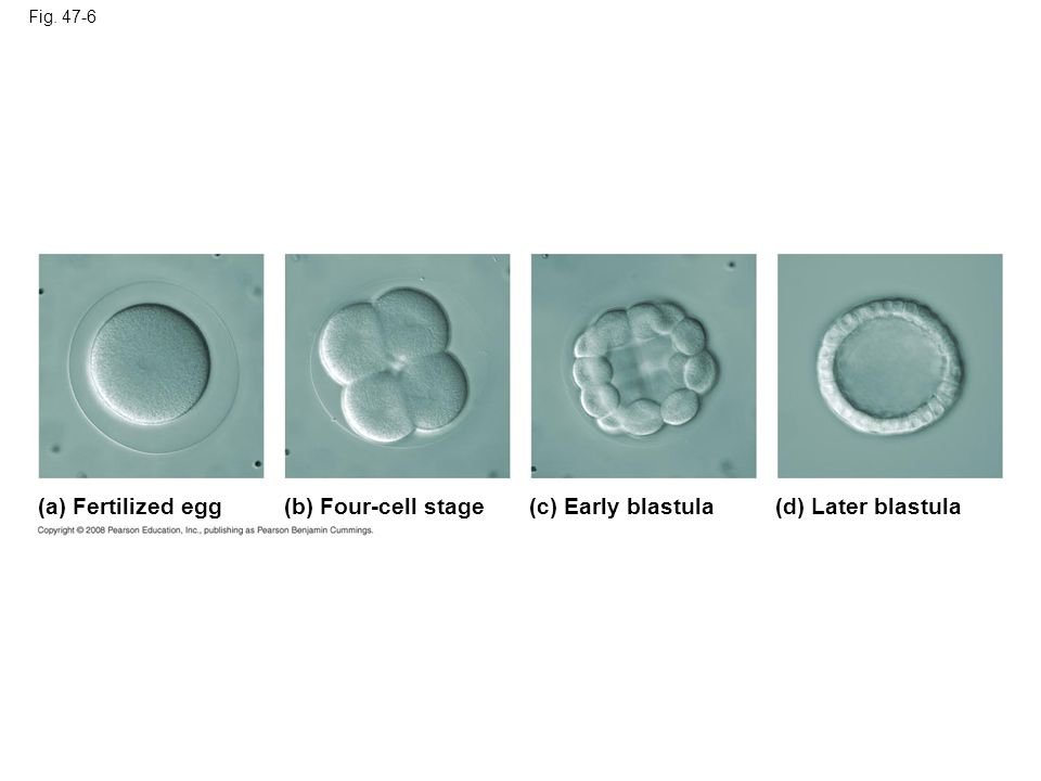 (a) Fertilized egg (b) Four-cell stage (c) Early blastula