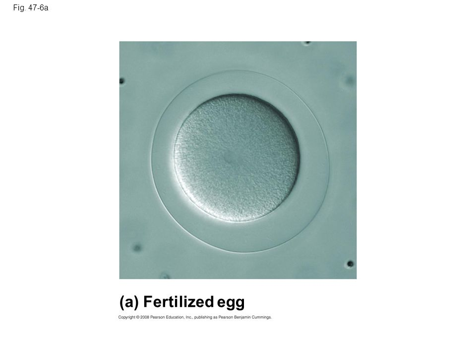 (a) Fertilized egg Fig. 47-6a