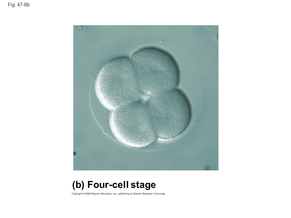 (b) Four-cell stage Fig. 47-6b
