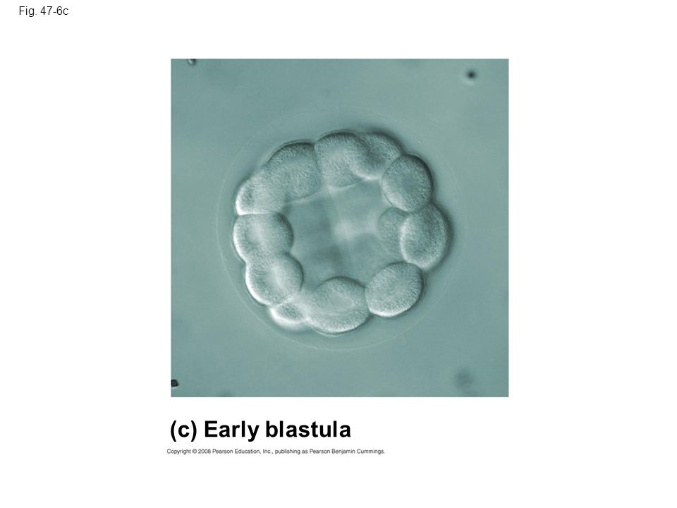 (c) Early blastula Fig. 47-6c