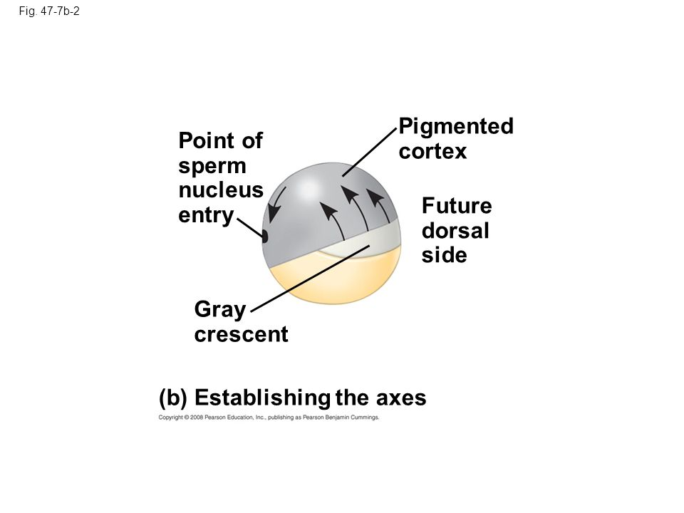 Point of sperm nucleus entry