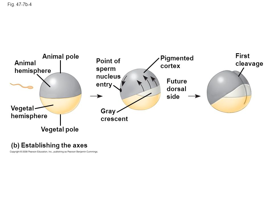 Point of sperm nucleus entry Animal hemisphere