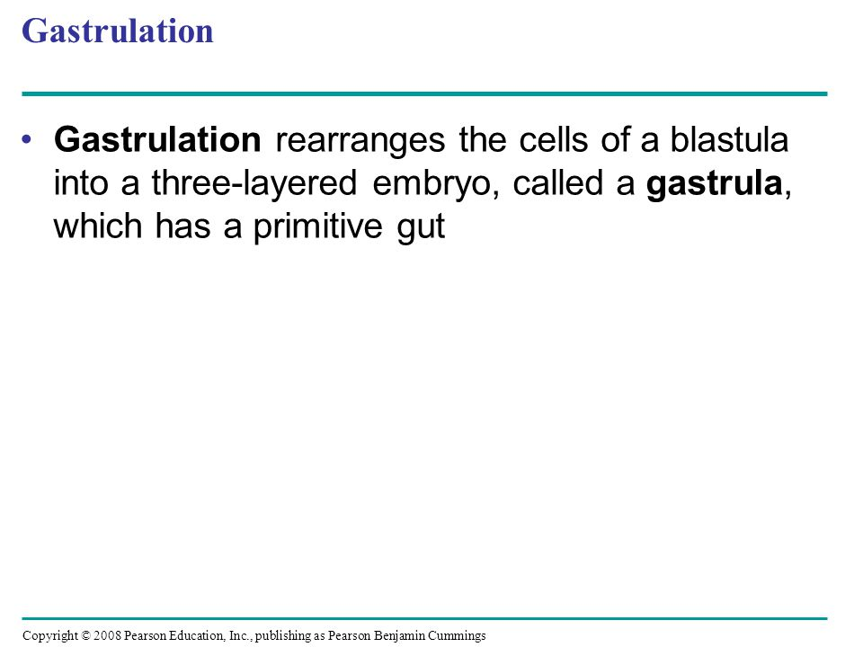 Gastrulation Gastrulation rearranges the cells of a blastula into a three-layered embryo, called a gastrula, which has a primitive gut.
