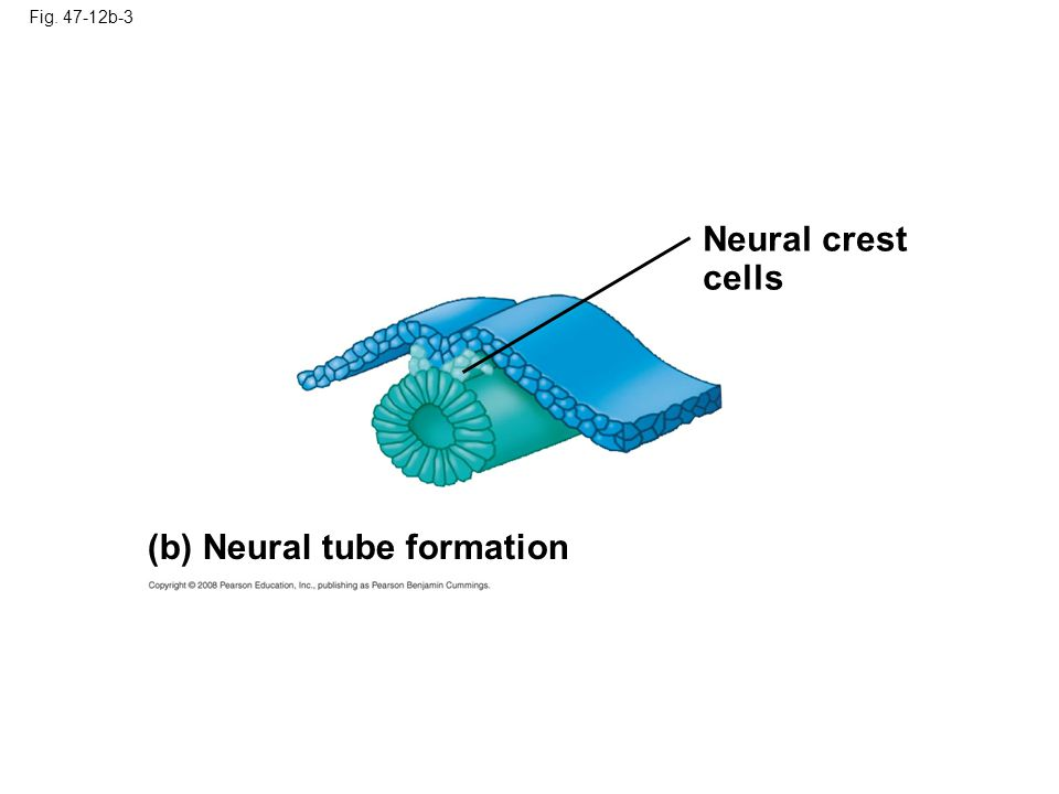 (b) Neural tube formation