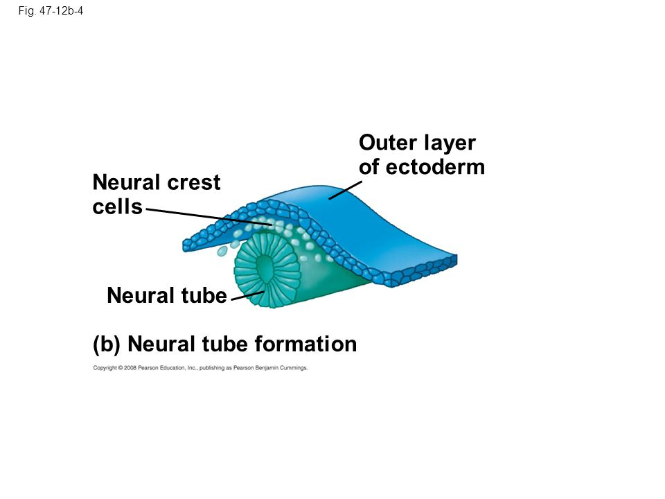 Outer layer of ectoderm