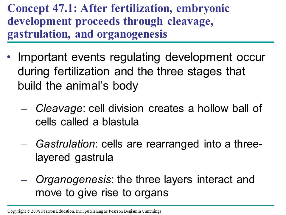 Concept 47.1: After fertilization, embryonic development proceeds through cleavage, gastrulation, and organogenesis