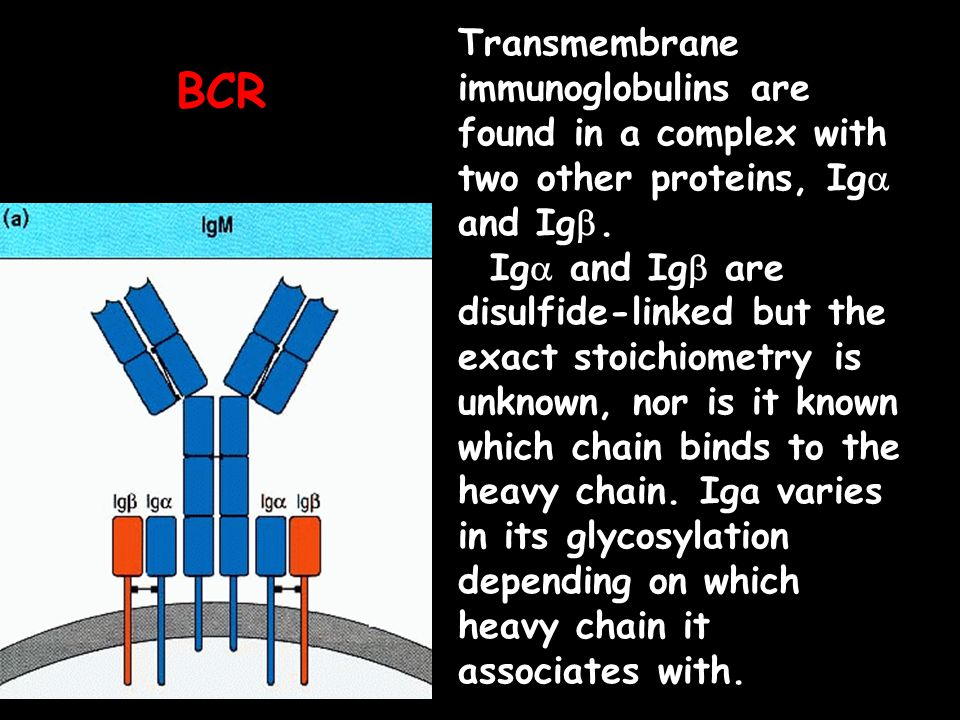 Transmembrane immunoglobulins are found in a complex with two other proteins, Iga and Igb. Iga and Igb are disulfide-linked but the exact stoichiometry is unknown, nor is it known which chain binds to the heavy chain. Iga varies in its glycosylation depending on which heavy chain it associates with.