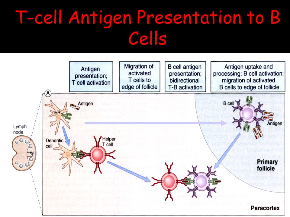 T-cell Antigen Presentation to B Cells