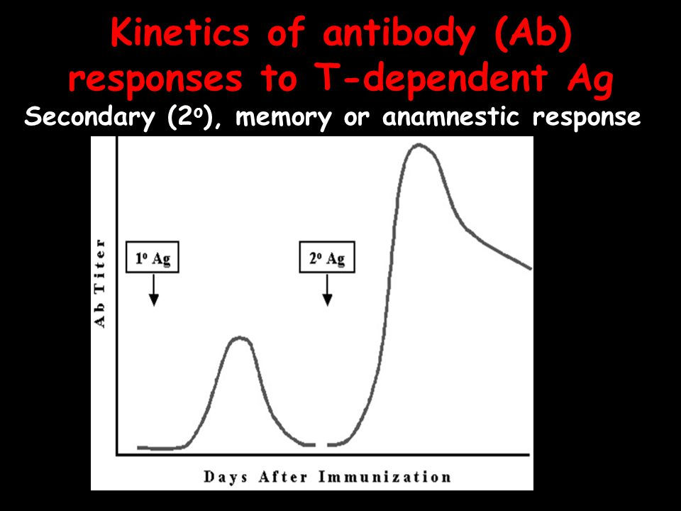 Kinetics of antibody (Ab) responses to T-dependent Ag