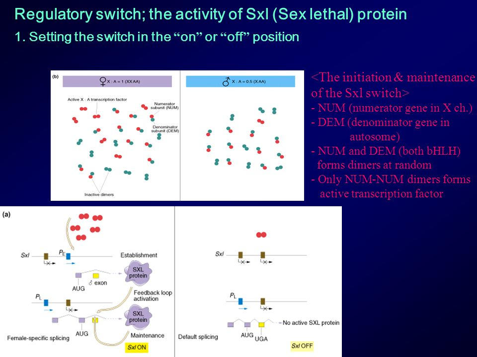 Regulatory switch; the activity of Sxl (Sex lethal) protein