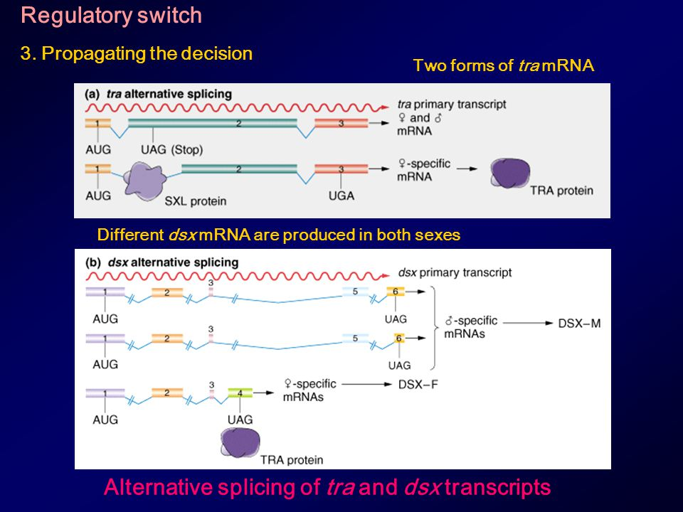 Alternative splicing of tra and dsx transcripts