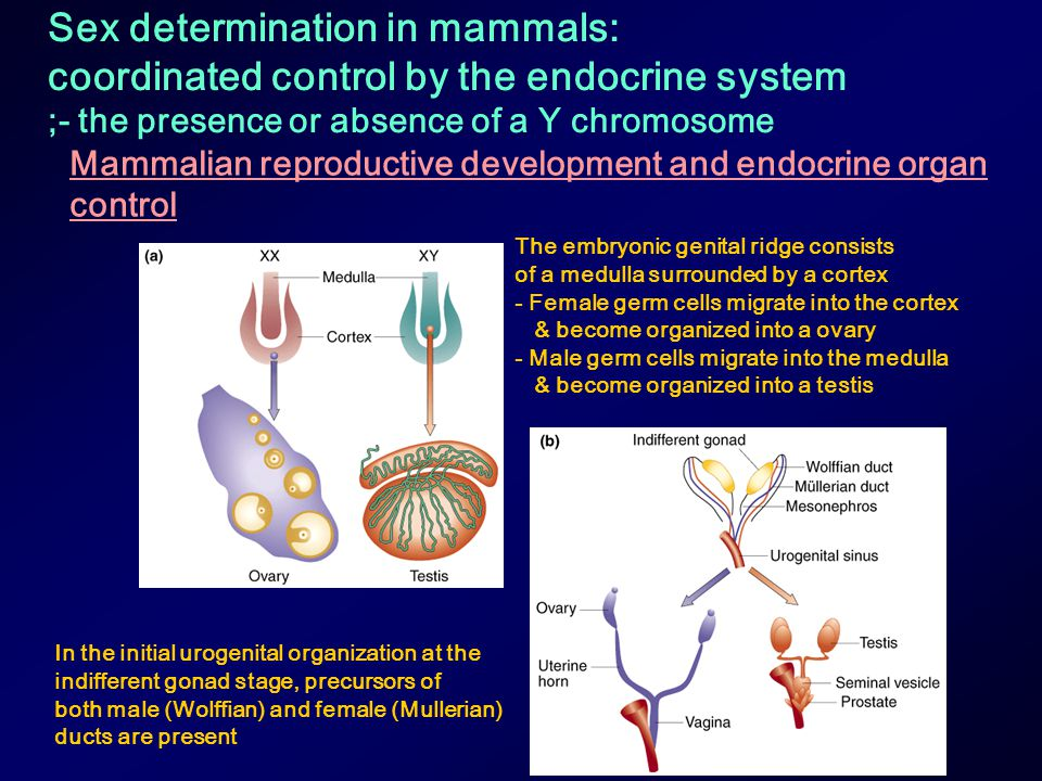 Sex determination in mammals: