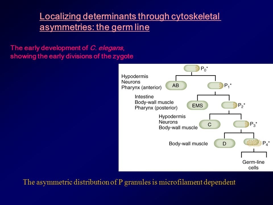 Localizing determinants through cytoskeletal