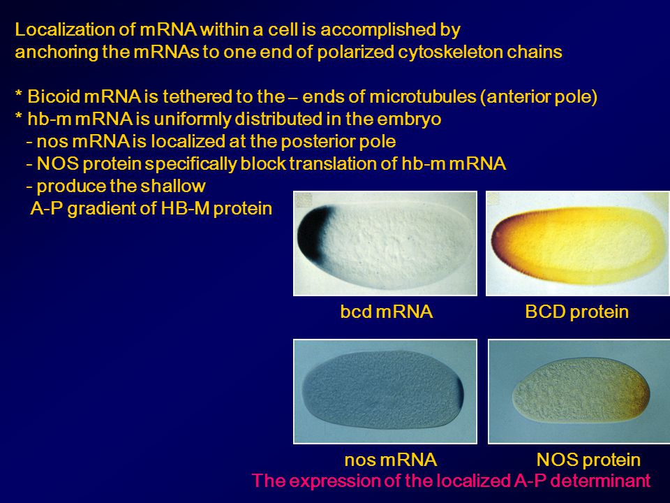 Localization of mRNA within a cell is accomplished by