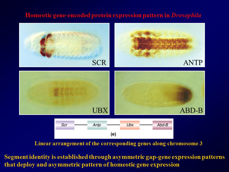 Homeotic gene-encoded protein expression pattern in Drosophila
