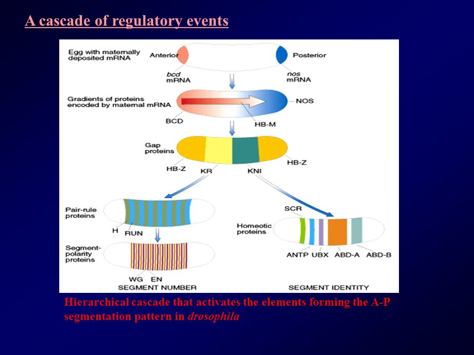 A cascade of regulatory events