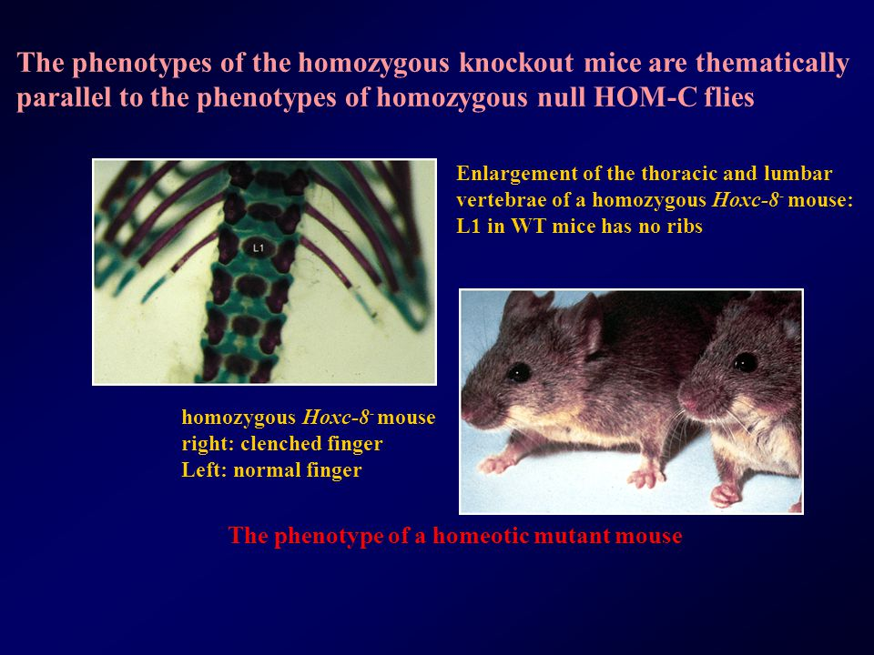 The phenotypes of the homozygous knockout mice are thematically