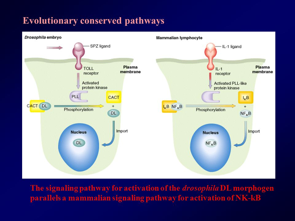 Evolutionary conserved pathways