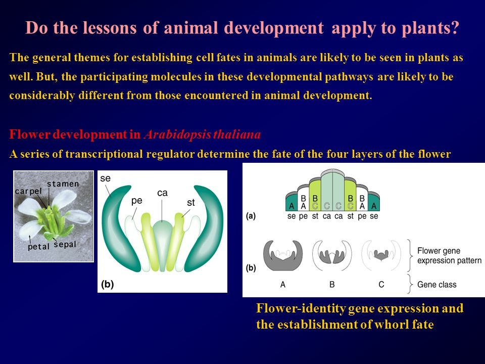Do the lessons of animal development apply to plants