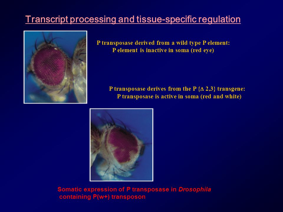 Transcript processing and tissue-specific regulation