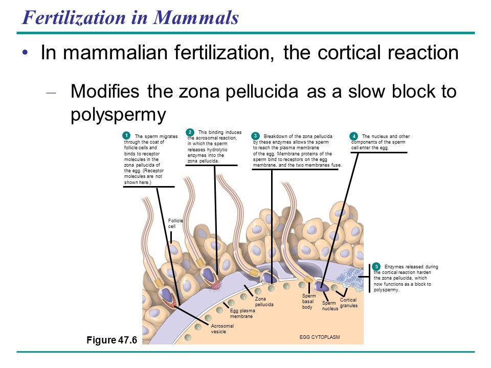 Fertilization in Mammals